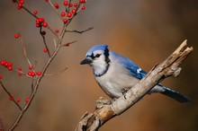 Blue Jay And Berries 1