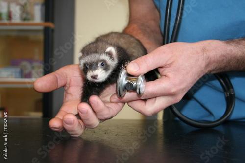 l'auscultation du furet au stetoscope Billede på lærred