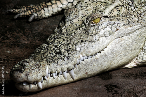 Photo Stands Crocodile Weisses Krokodil