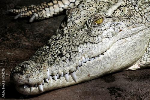 Wall Murals Crocodile Weisses Krokodil