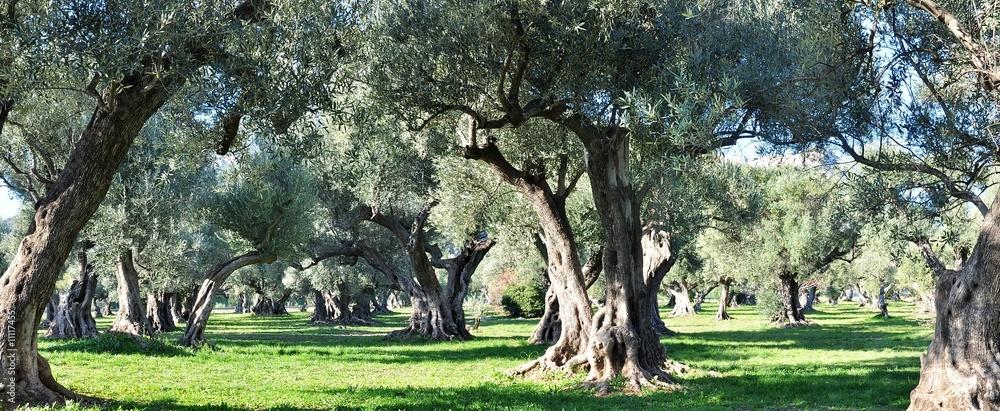 Fototapety, obrazy: oliviers provence