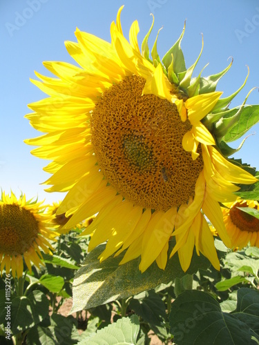 Printed kitchen splashbacks Sunflower sonnenblume