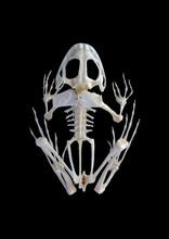 Isolated True Rana Frog Skelet...