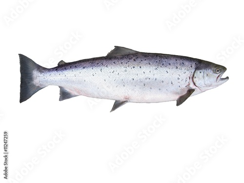 salmon on white background Poster Mural XXL