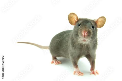 Photo  rat
