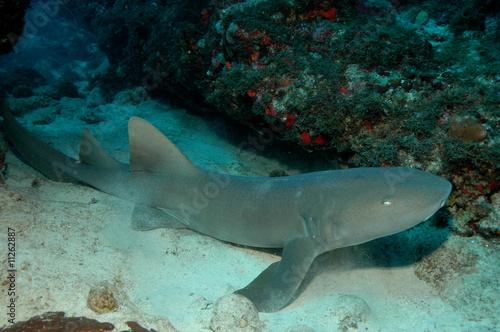 Poster Sous-marin requin nourrice4