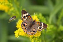 Common Buckeye Butterfly And Bee