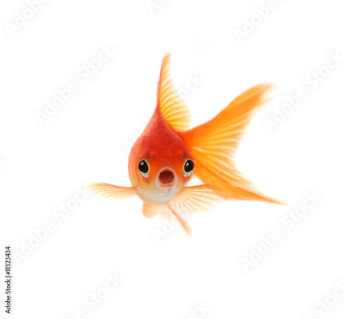 Fotografie, Tablou Shocked Goldfish Isolated on White Background