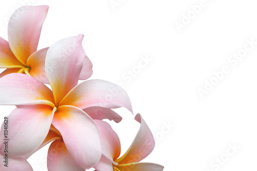 Foto-Duschvorhang - Frangipani flower isolated on white background