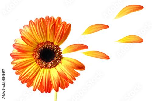 Fotobehang Gerbera Flying gerber daisy