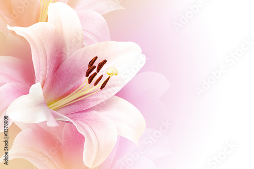 Fotografia Pink lily background with copy space