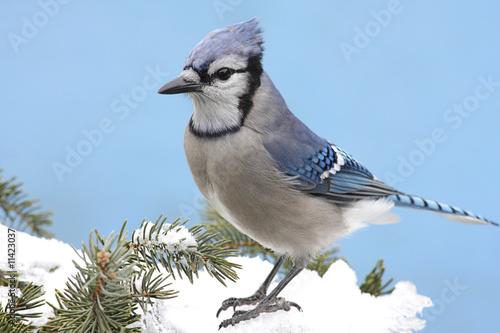 Valokuva Blue Jay In Snow