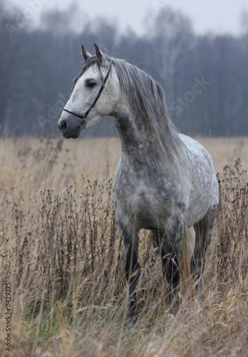 Grey horse on field Canvas Print