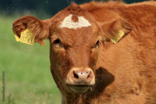 Poster de jardin Vache Portrait.