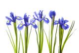 Art irises