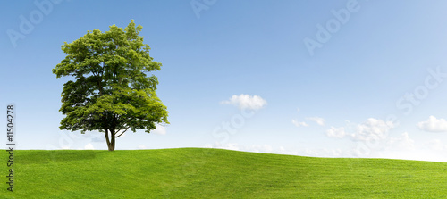 Fototapeta Maple tree obraz