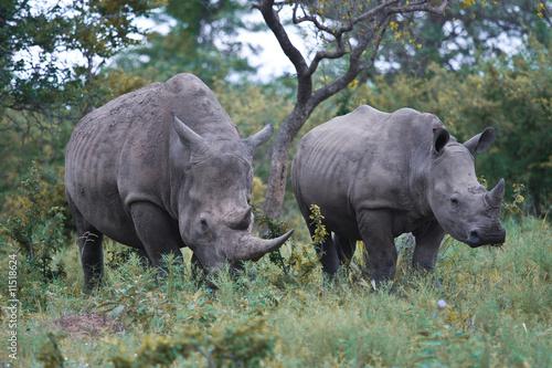 Poster Rhino rhinos