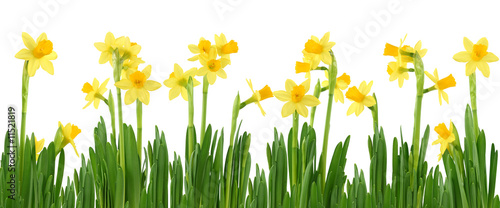 Yellow daffodils isolated on white #11521819
