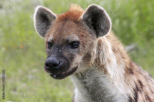 Foto op Aluminium Hyena Hyäne