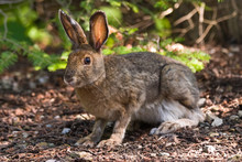 Snowshoe Hare On The Forest Fl...