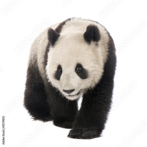 Stickers pour porte Panda Giant Panda (18 months) - Ailuropoda melanoleuca