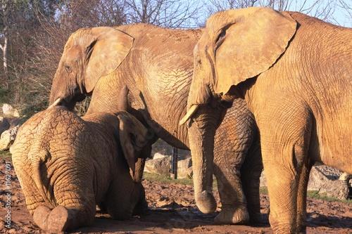 Garden Poster Elephant Elephant suckling