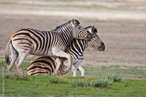 Furniture stickers Zebra Zebras fighting