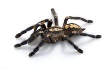 Sapphire Ornamental Tarantula