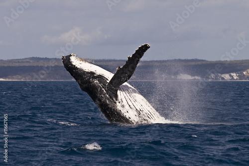 Photo  Humpback whale breach