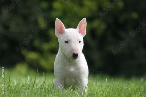 Carta da parati Bull terrier miniature aux oreilles roses