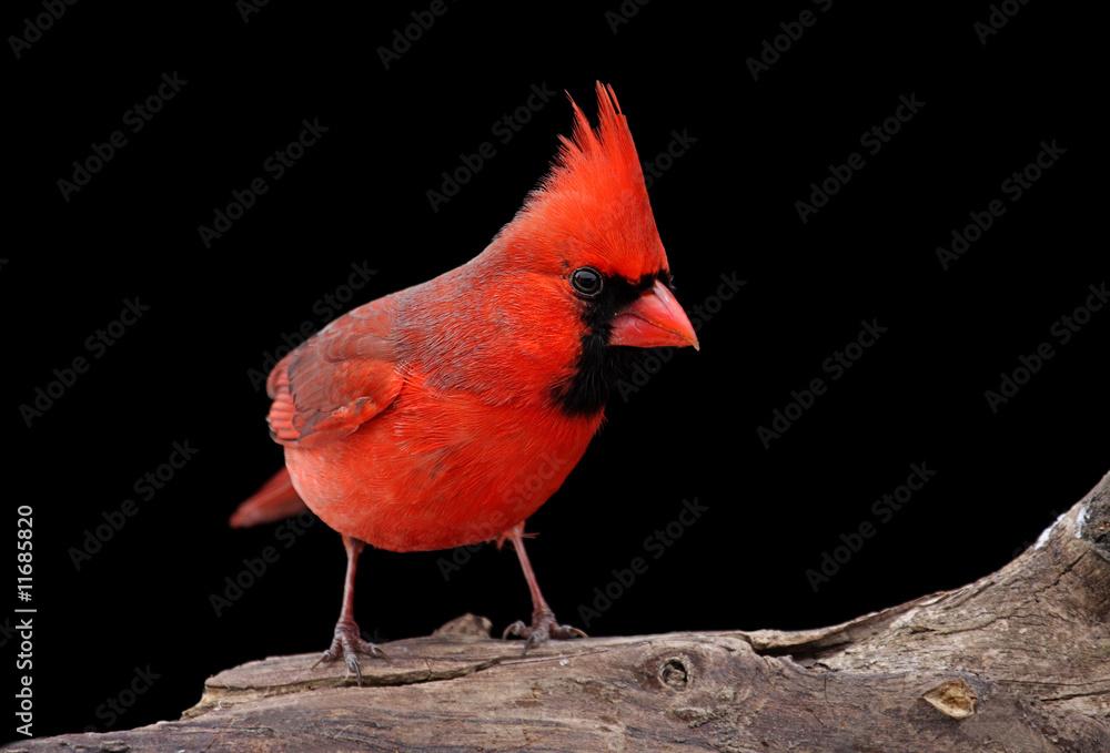 Photo  Northern Cardinal On A Log