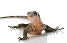 Peach Throat Monitor Lizard