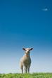 canvas print picture - cute lamb