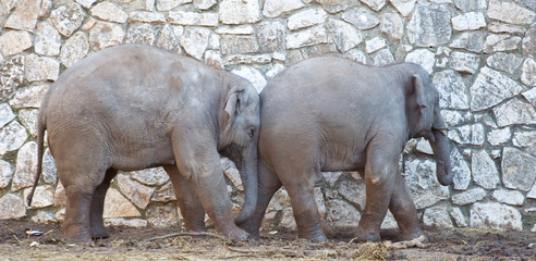Fototapeta Słoń Indian elephants