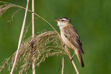 Bird - Sedge Warbler 1