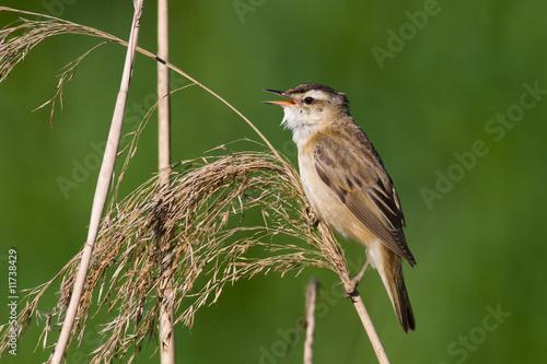 Leinwand Poster bird - sedge warbler 1