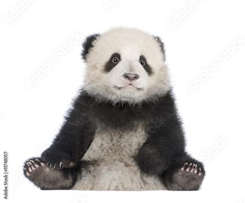 Photo sur Aluminium Panda Giant Panda (6 months) - Ailuropoda melanoleuca