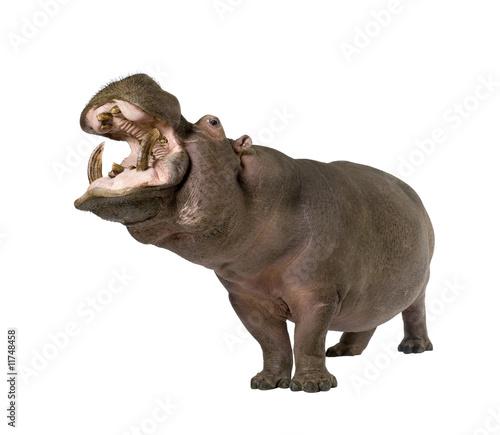 Photo Hippopotamus - Hippopotamus amphibius ( 30 years)