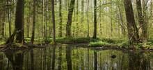 Springtime Alder Bog Stand Of Bialowieza Forest