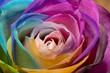 canvas print picture - rosa