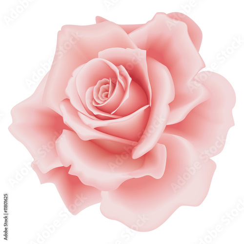 Isolated Pink Rose Poster