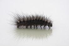 Hairy Caterpillar