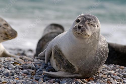 Keuken foto achterwand Noordzee Seehund zwinkert