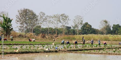 Fotobehang Rijstvelden rizière en thailande