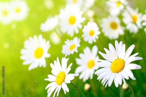 Foto-Banner - Daisy flower
