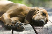 Hound Dog Laying On A Wood Por...