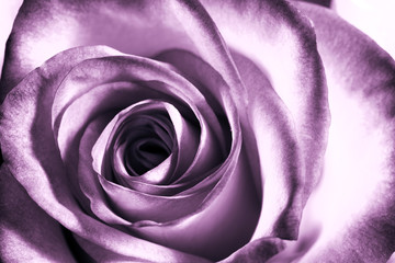 Obraz Purple rose