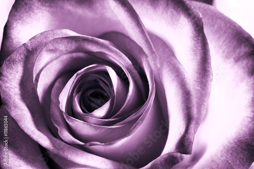 Deurstickers Roses Purple rose