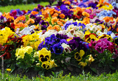 Tuinposter Pansies Heartsease, flower garden - close-up