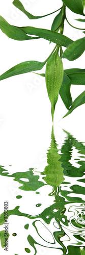 szczesliwy-bambus